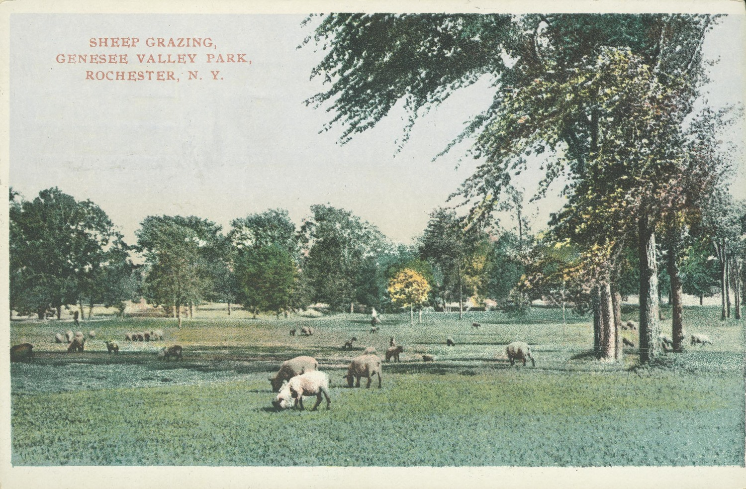 Sheep Grazing, Genesee Valley Park, Rochester, N.Y.